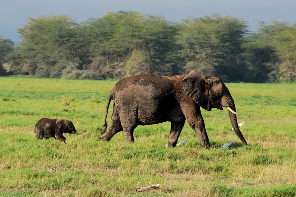 afrika-fili-kenya