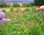 Türkiye'nin çiçek bahçesi Isparta'da gül hasadı