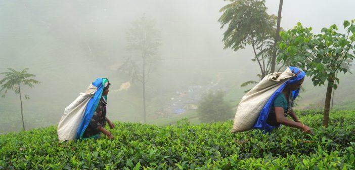 Asya'nın çay bahçesi; Sri Lanka