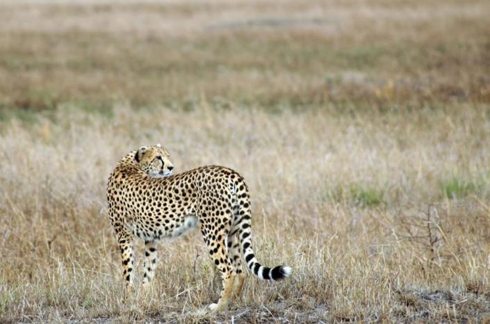 bigcat-africa