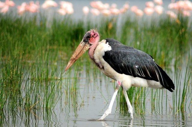 flamingo-nakuru