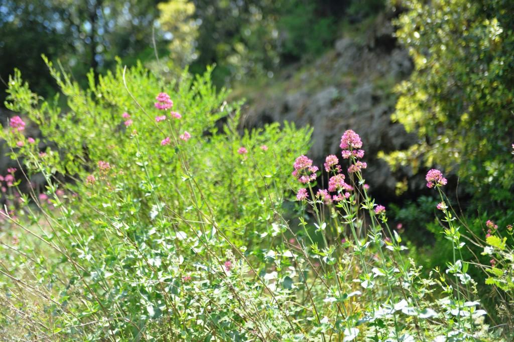 sicilya etna flower