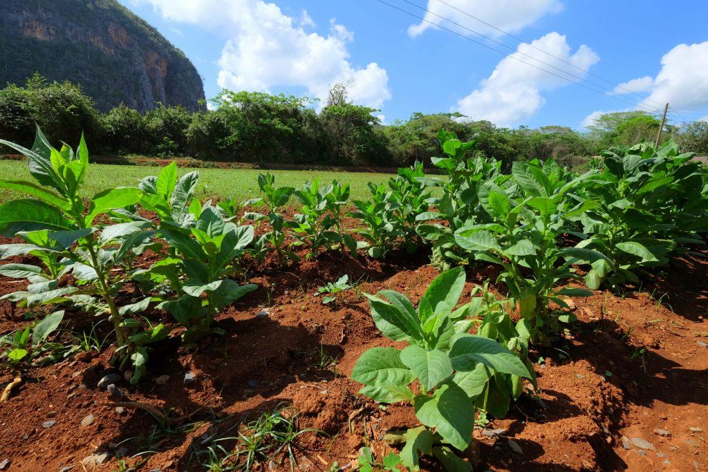 Küba-Türün-Tarlasi-Vinales